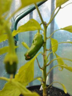 Peppers forming in the mini greenhouse