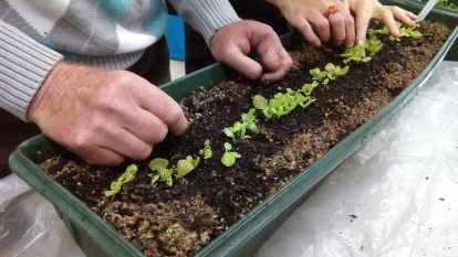 Thinning out salad crops in containers