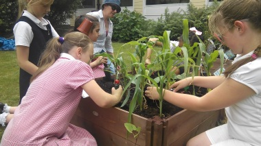 RH The Three Sisters planting out sweetcorn, pumpkins and climbing beans